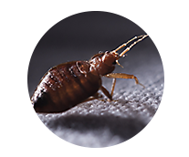 Bed Bugs Library