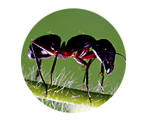 carpenter ant control products