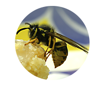 wasp, hornet, and yellow jacket control products