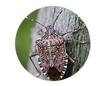 stink bug control products