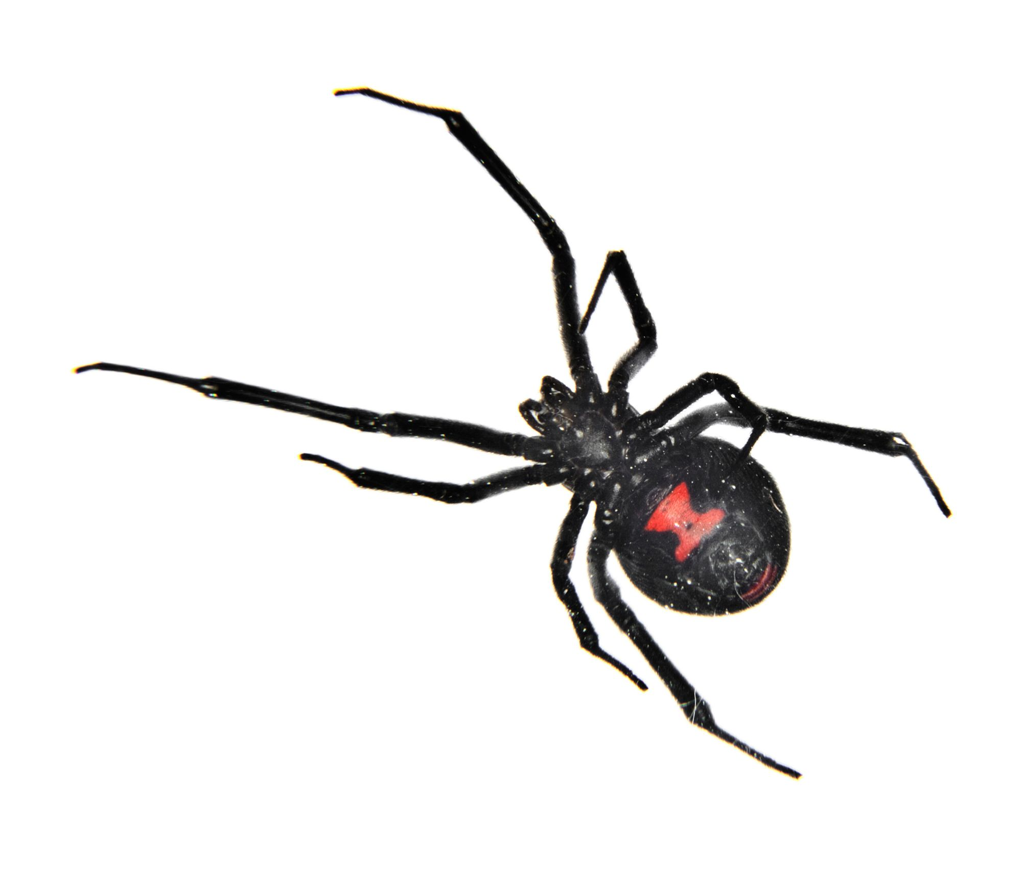 black widow spider facts black widow spider control terro