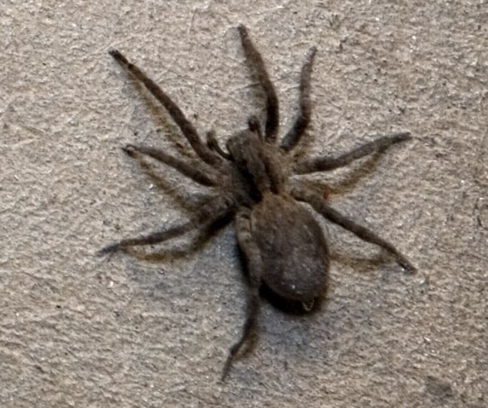Brown Recluse Spider Facts Brown Recluse Spide Control Terro