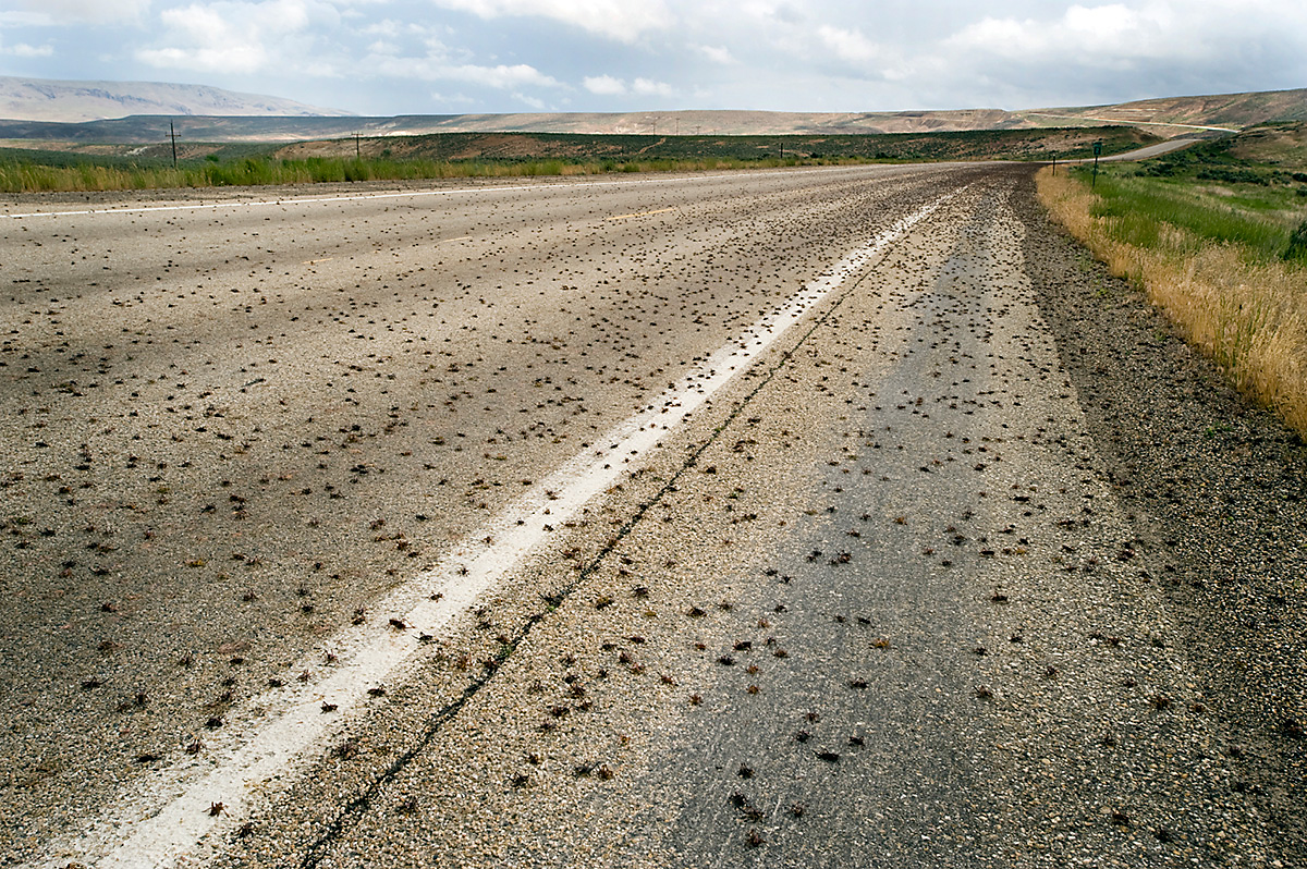 thousands of crickets along a roadside
