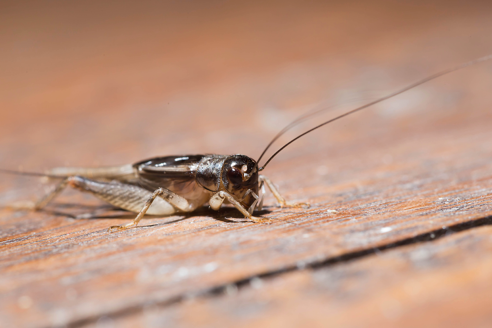 cricket on a wood floor