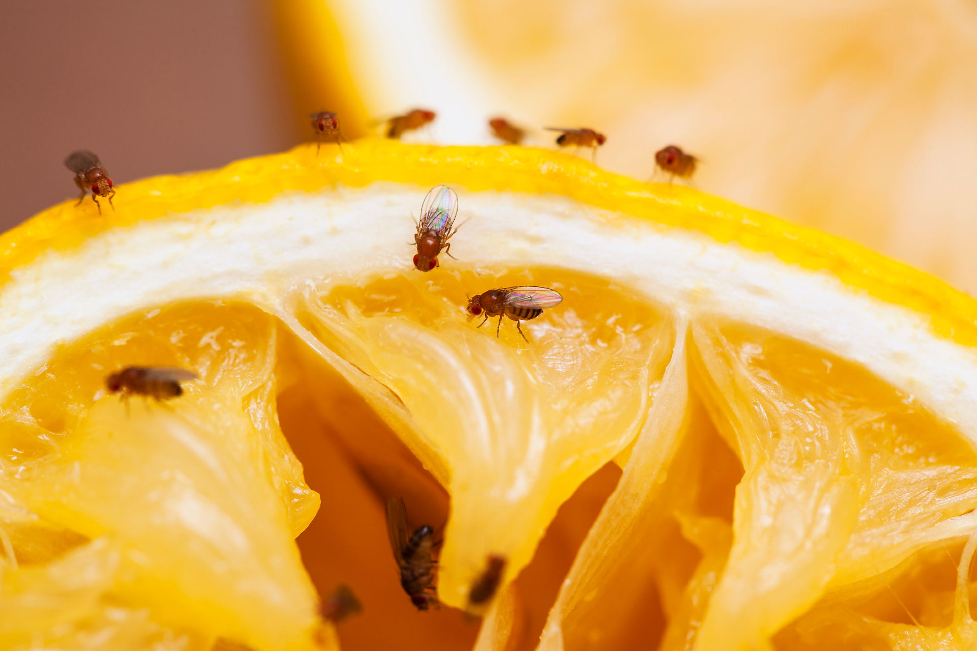 fruit fly infestation tempted by the fruit of another