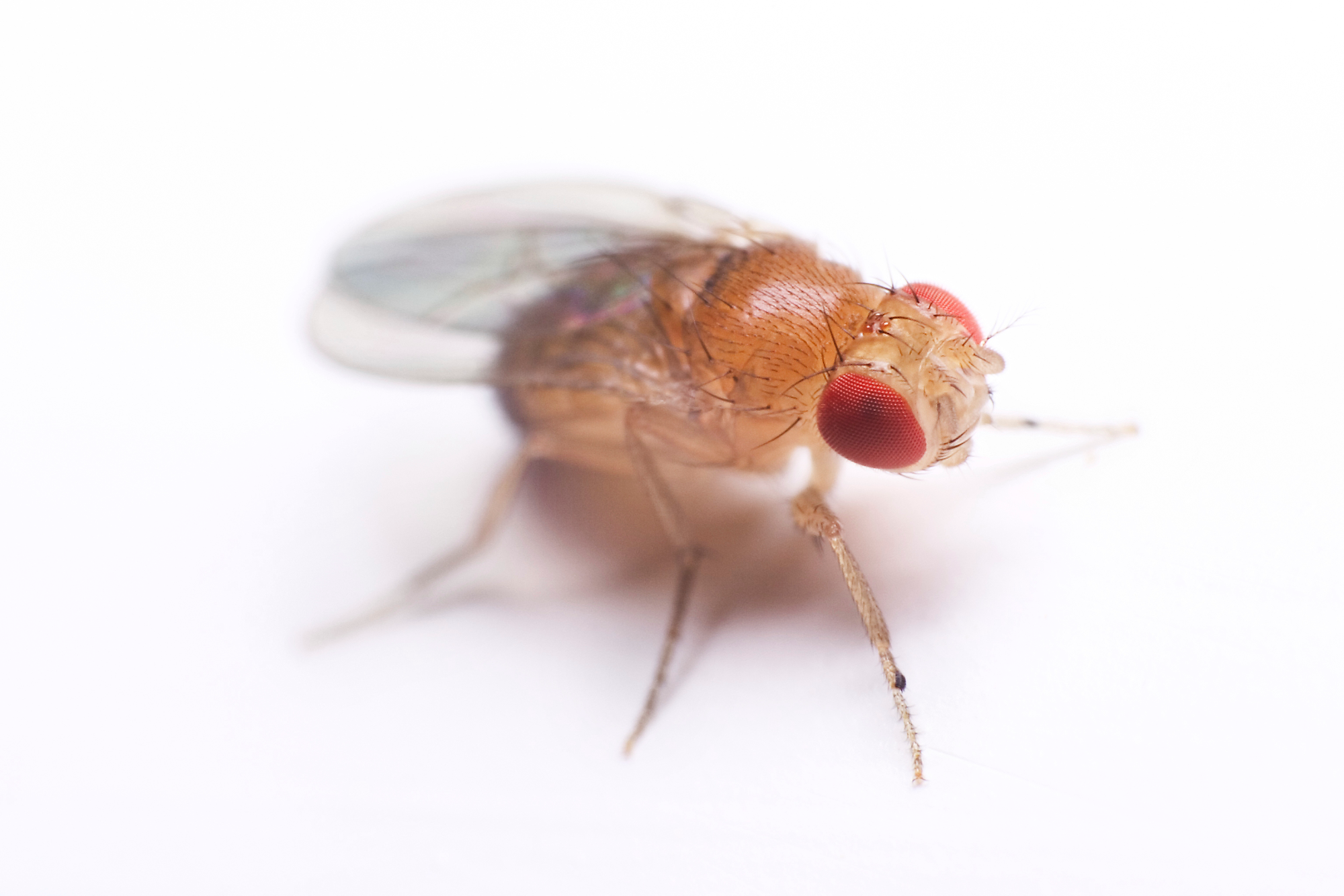 Fruit Fly Facts and Information | TERRO®