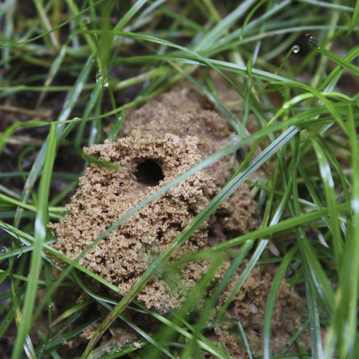 Ground Digger Wasp Den