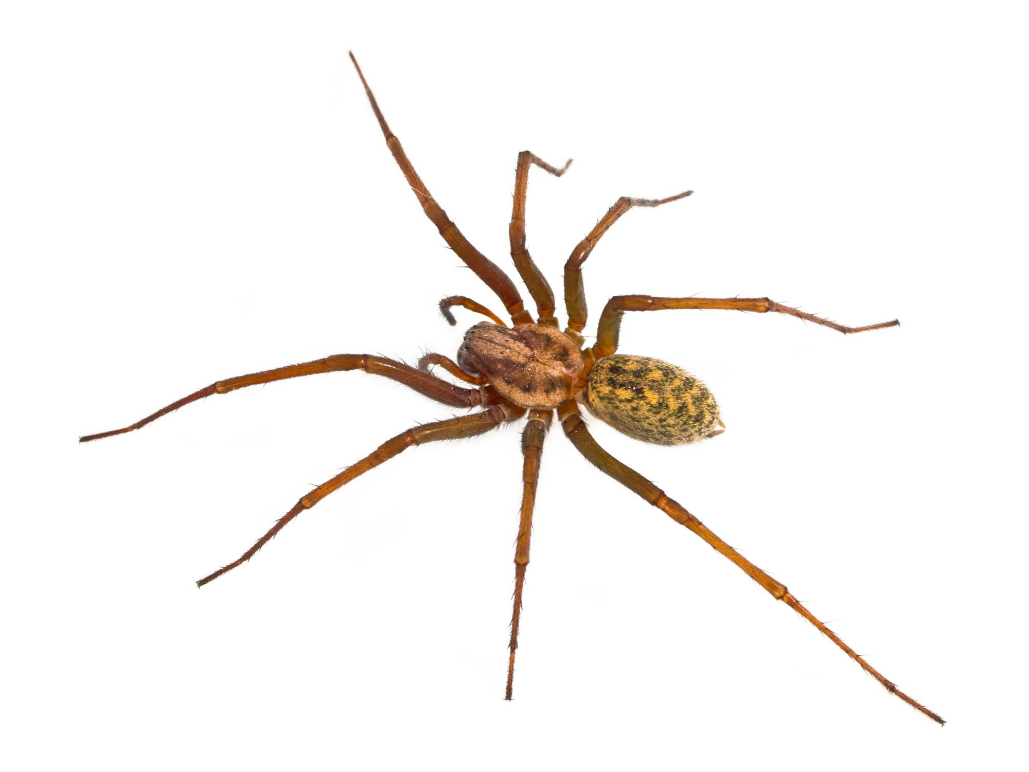 Hobo Spider Facts Hobo Spider Control