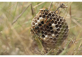 Northern Paper Wasp Reproduction