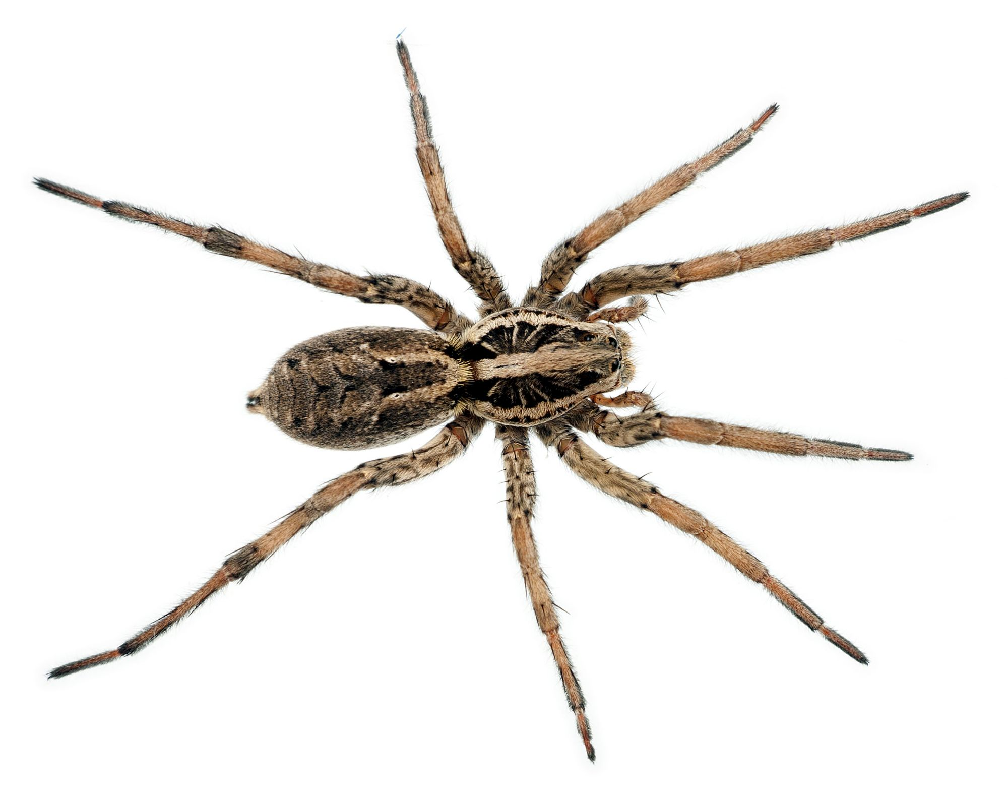 Wolf Spider Facts Wolf Spider Control Terro