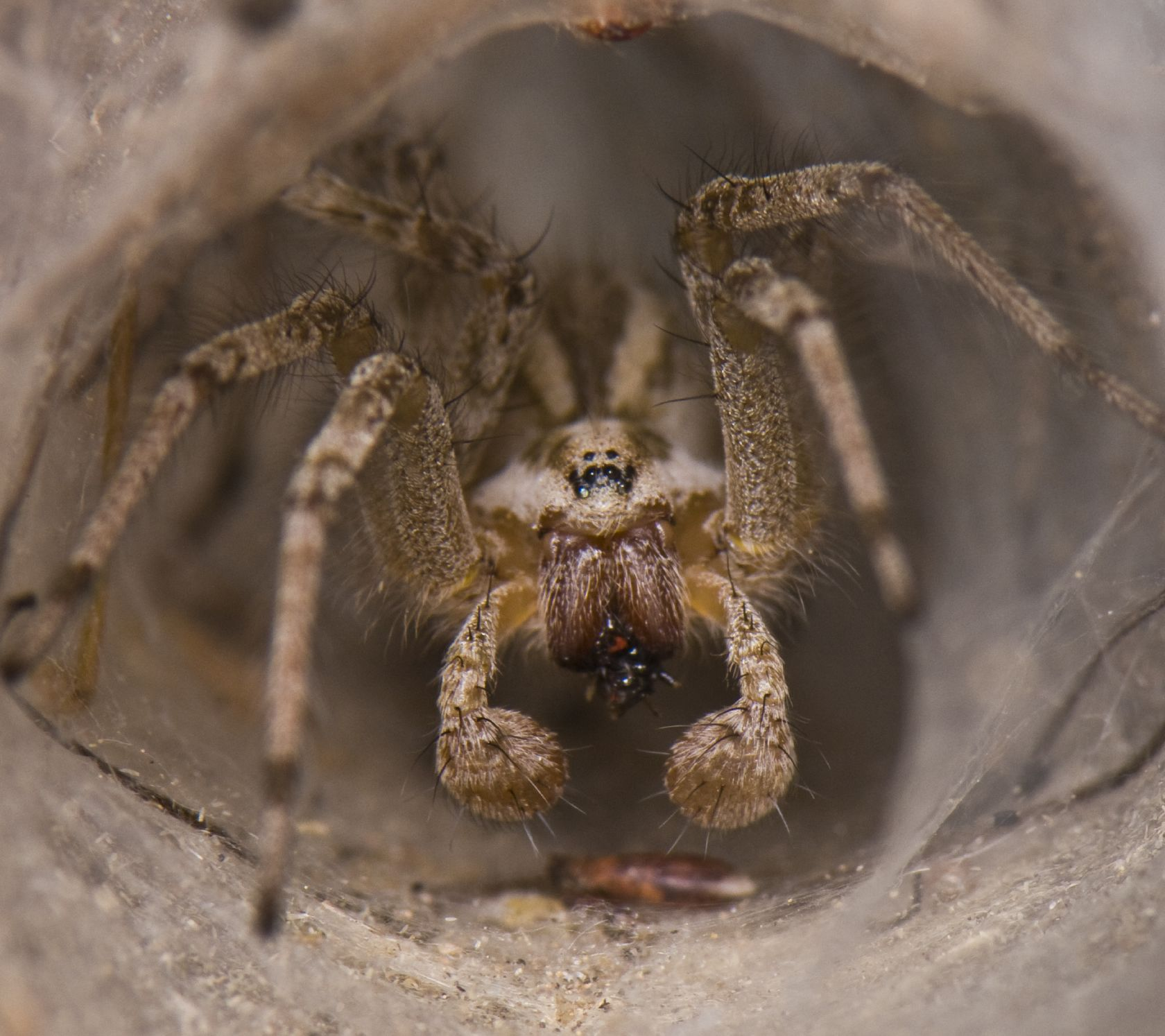 What Do Wolf Spiders Eat >> Wolf Spider Facts Wolf Spider Control Terro