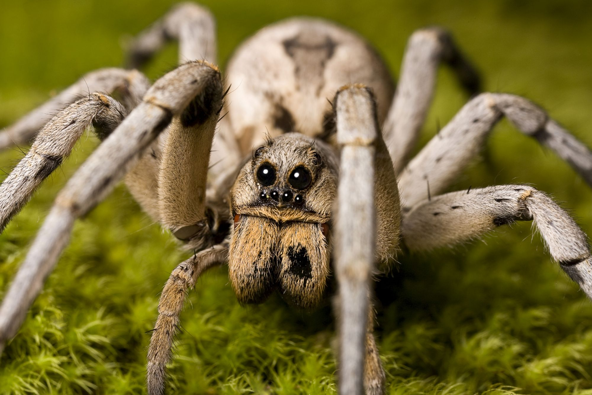 Wolf Spider In Environment