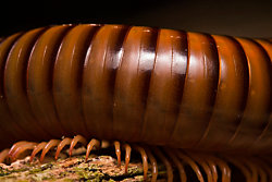 What attracts millipedes?