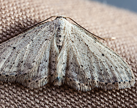 What do Clothes Moths Look Like