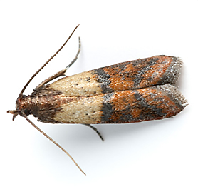 Facts About Pantry Moths | TERRO® Learning Center
