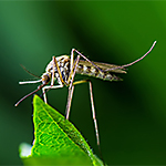 All About Mosquitoes