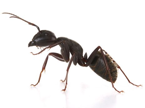 How to Kill Carpenter Ants