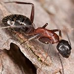 Carpenter Ants vs. Termites