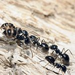 Does liquid bait kill carpenter ants