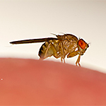 ID Fruit Flies