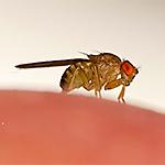 ID Fruit Flies