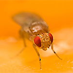 Prevent fruit fly invasions