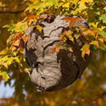 Get rid of Wasp Nest