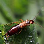 All About Earwigs