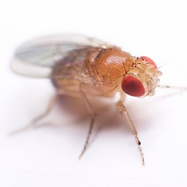 without a doubt fruit flies are the most common flying insects that will pester you in the kitchen they are attracted to fresh and decomposing fruit as - Gnats In Kitchen