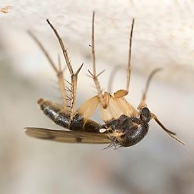 How To Id Fruit Flies Drain Flies And Fungus Gnats