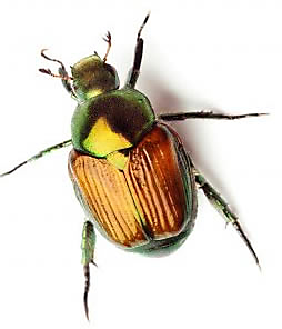 What are June Bugs? How Can I Get Rid of June Bugs?