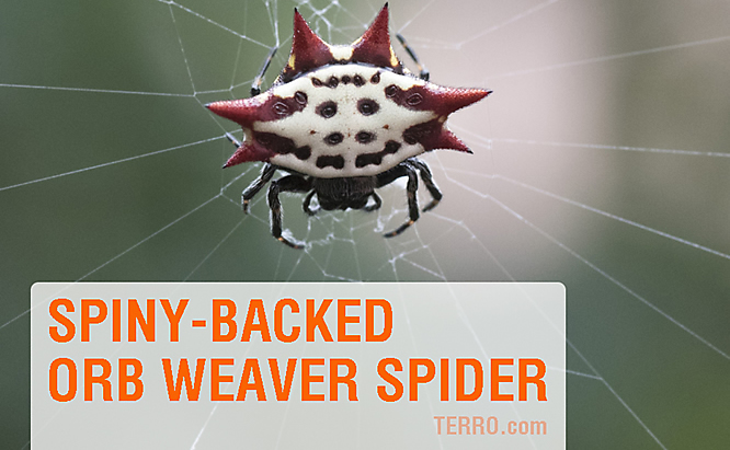Spiny Backed spider