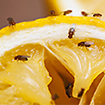 DIY Fruit Fly Traps
