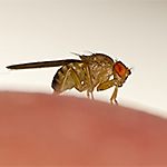 Identify Fruit Flies