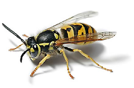 Hornets and Wasps
